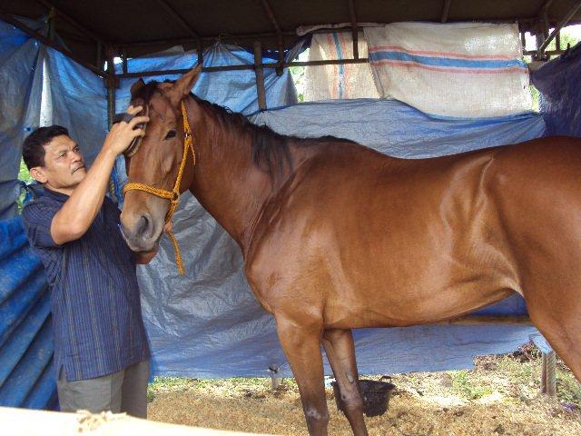 Apakah Merawat Kuda Balap Sama Saja Dengan Menyakitinya?