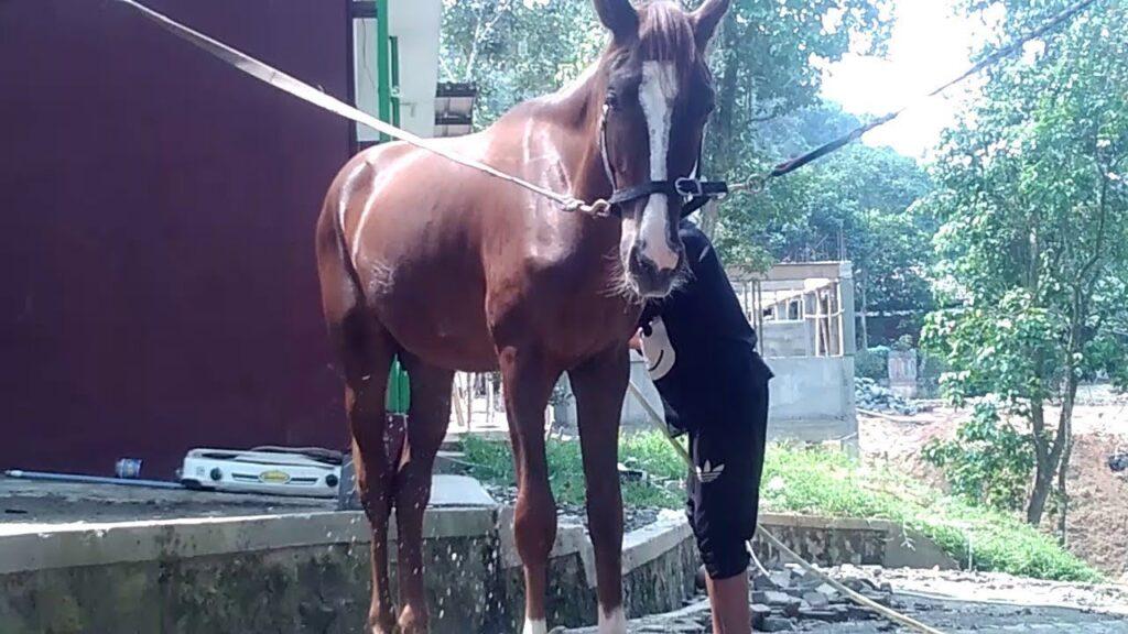 Merawat Kuda Balap